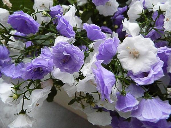 Jardinière de campanules à fleurs doubles en hiver sur mon bal
