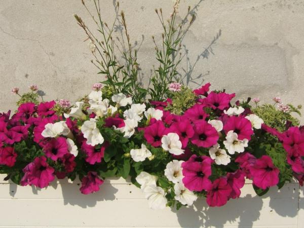 ANNUELLES jardinieres -surfinias-mauves-et-blanc-geraniums-odorants-gaura-blanche-resized