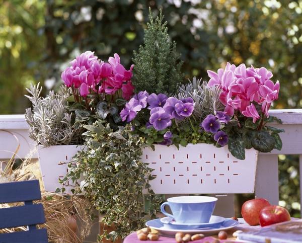 Jardinière d'automne : Cyclamen 'Concerto' , Cyclamen 'Libretto', Viola 'True Blue' (Pensée), Hedera (lierre), Lavandula (Lavande), Juniperus