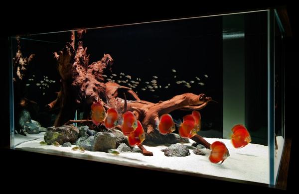 aquarium-design-simple-poissons-rouges