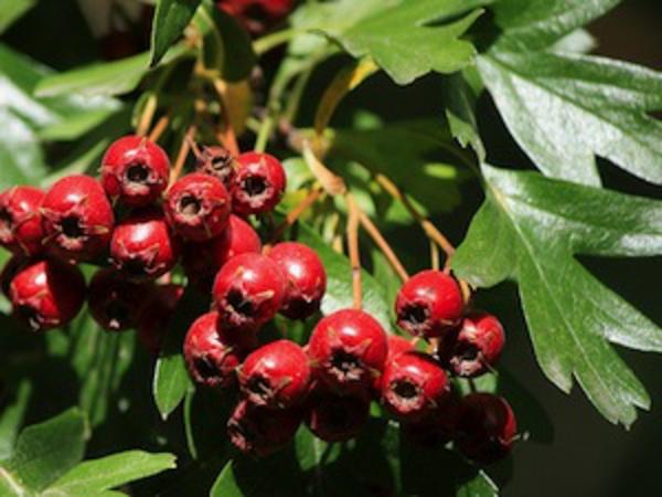 aubepine-crataegus-laevigata-fruits