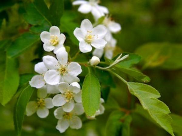 aubepine-crataegus-monogyna-fleurs