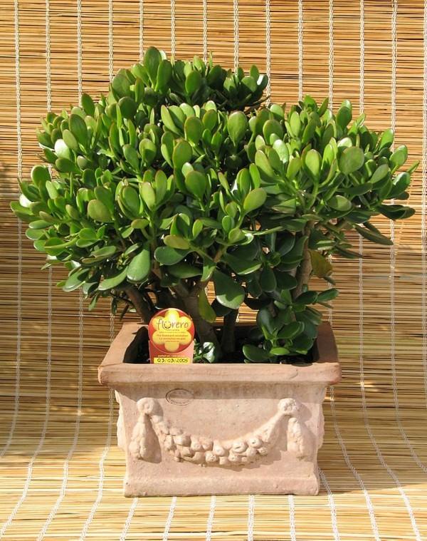 bonsai-Crassula-ovata