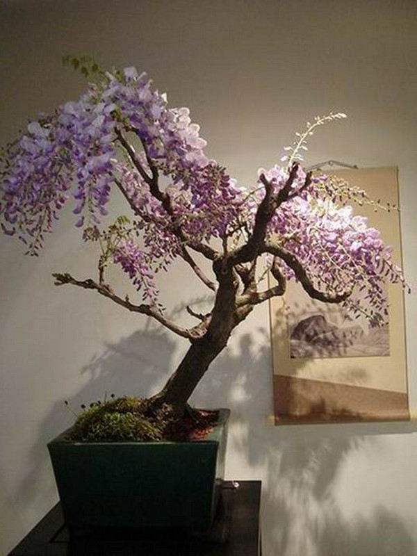 bonsai-arbre-acacya
