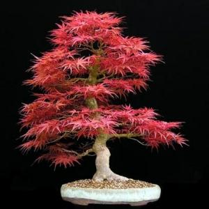 Un arbre bonsai - la décoration par excellence pour l'intérieur ou le jardin