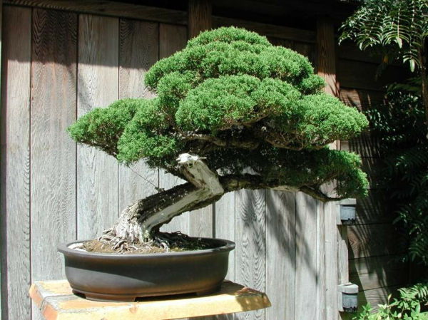 Un arbre bonsai la d coration par excellence pour l for Arbre bonsai exterieur