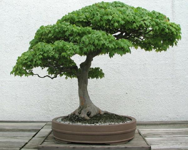 bonsai-arbre-exterieur2