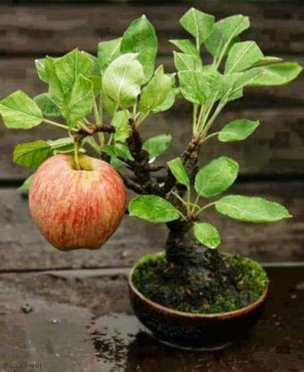 bonsai-arbre-fruit-pommier