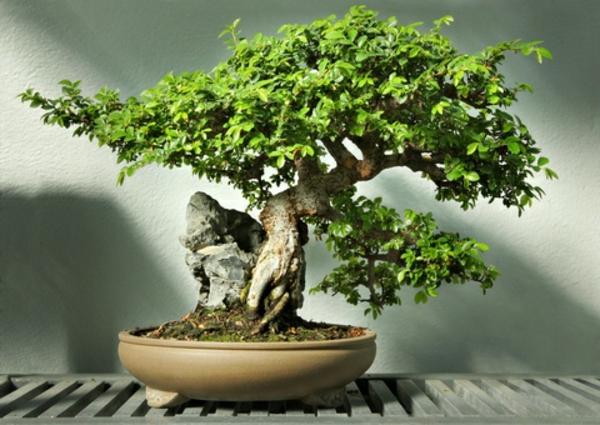 bonsai-arbre-hetre-chinois