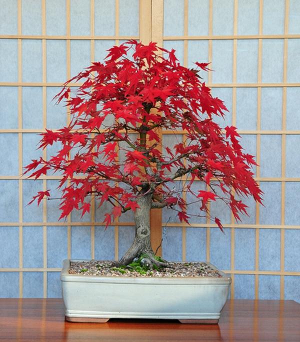 bonsai-arbre-hetre-japonais