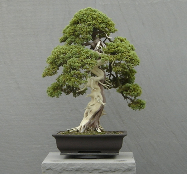bonsai-arbre-interier-5