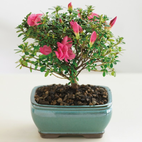 bonsai-arbre-interieur-6