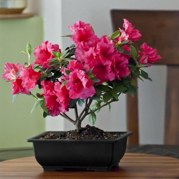bonsai-arbre-interieur-azalea-2