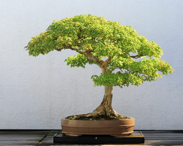 bonsai-arbre-interieur-plante