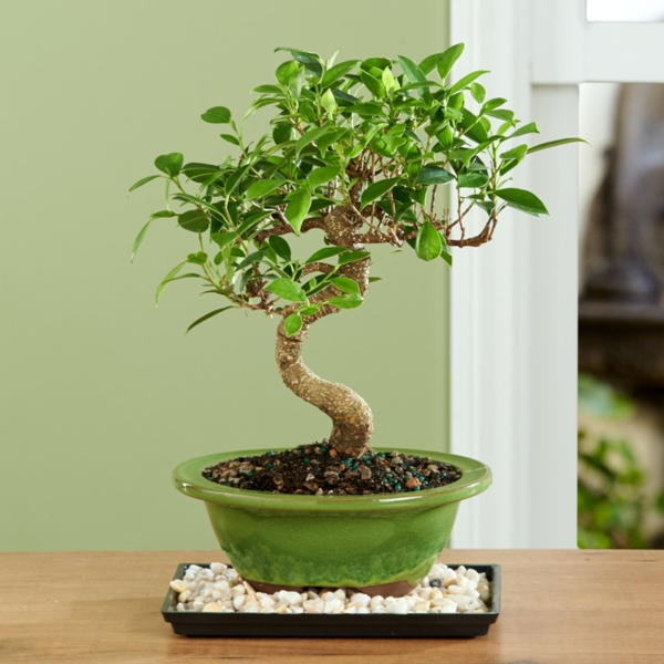 bonsai-arbre-interieur