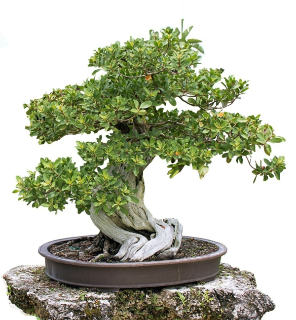 bonsai-arbre-miami-tropicale