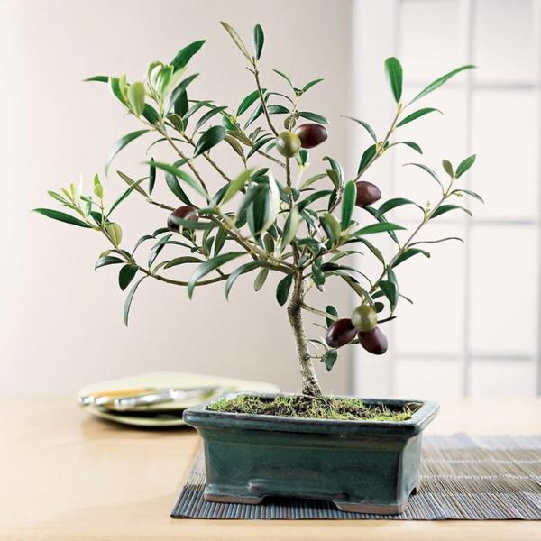bonsai-arbre-olive-de-toscane