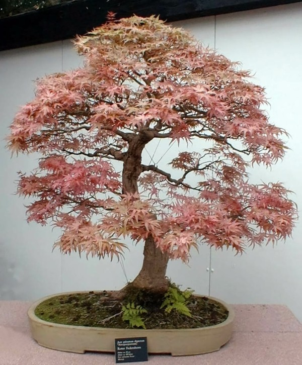 bonsai-arbre-orange-feuilles