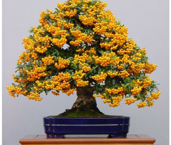 bonsai-arbre-tresor-d'or