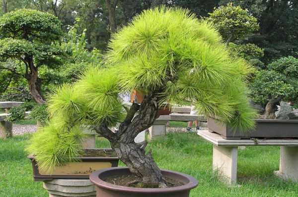 bonsai-de-Pinus-
