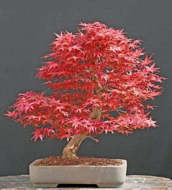 bonsai-erable-japonais-rouge