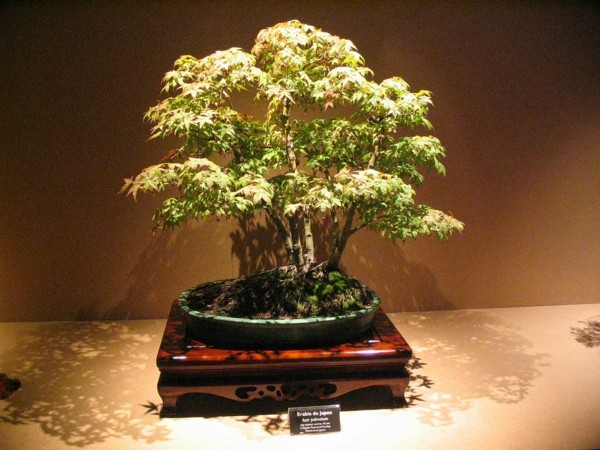 bonsai-erable-japonais