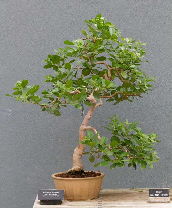 bonsai-psidium-littorale-var-longipes