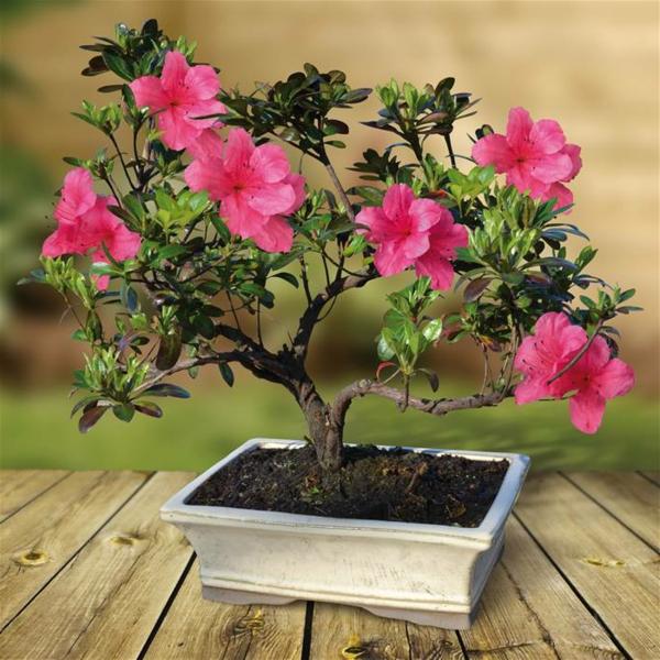 bonsai-rhododendron-fleurs