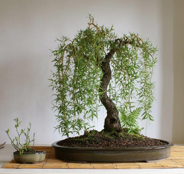 arbre-bosai-peupleir