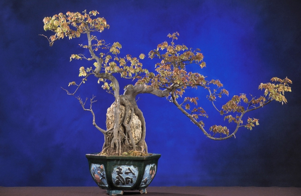 bonsai-trident-maple
