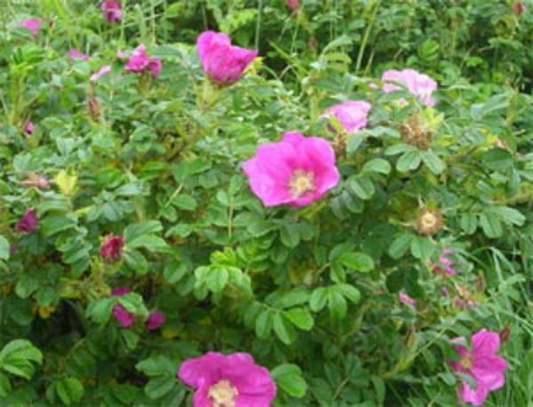 haie-automne-rosa-rugosa-buisson