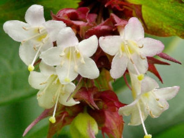 haie-ete-leycesteria-formosa-fleurs