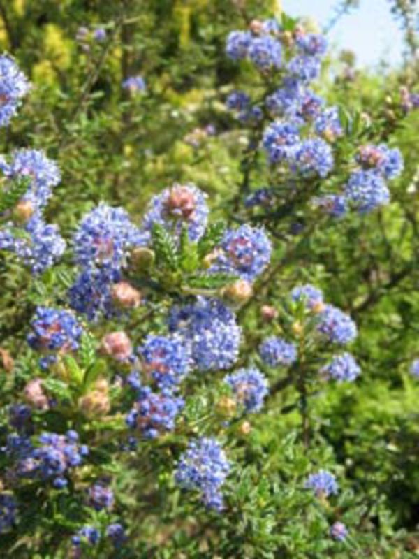 haie-fleurie-tout-l'annee-ceanothe