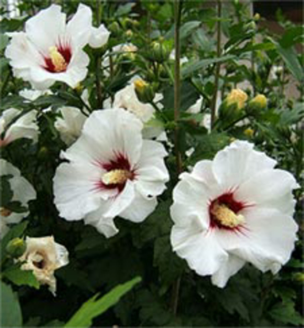 haie-fleurie-tout-l'annee-hibiscus-syriacus