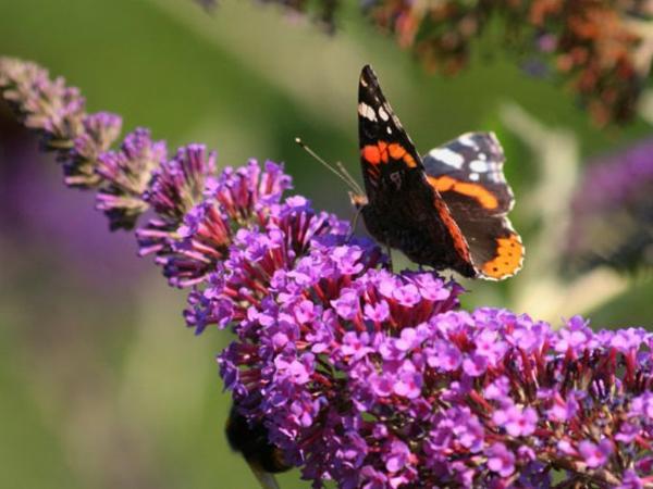 haie-fleurie-toute-l'annee-decorative-papillon
