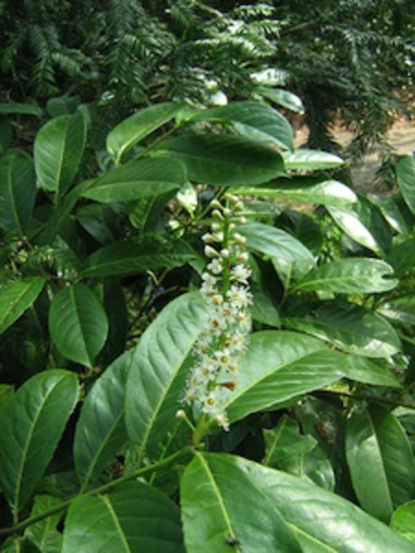 Laurierkers (Prunus laurocerasus Cherry laurel