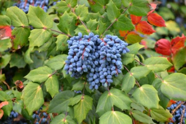 haie-hiver-mahonia-fruits