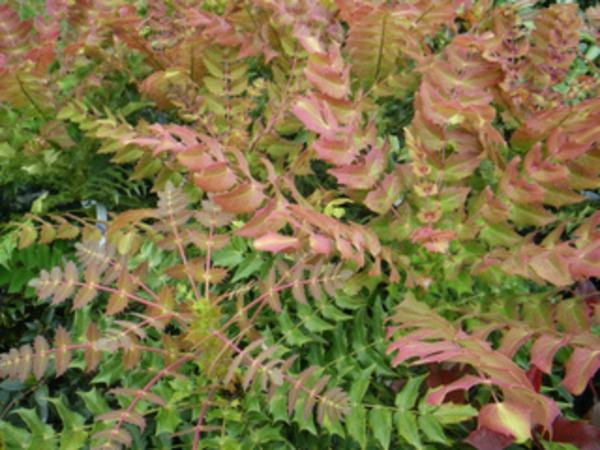 haie-hiver-mahonia-jeunes-feuilles