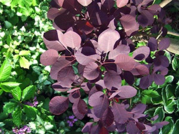 haie-printemps-automne-cotinus-coggyria-royal-purple