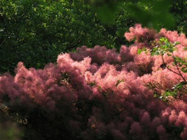 haie-printemps-automne-cotinus-coggyria