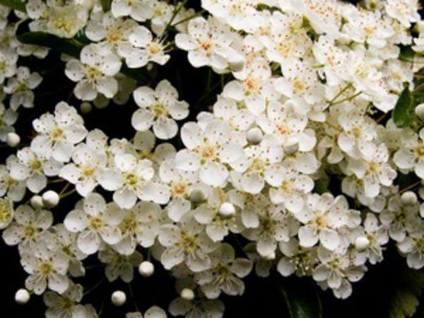 haie-printemps-pyracantha-fleurs
