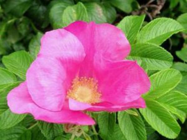 haien-automne-rosa-rugosa