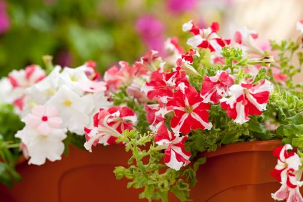 jardiniere-avec-petunias-roses-resized