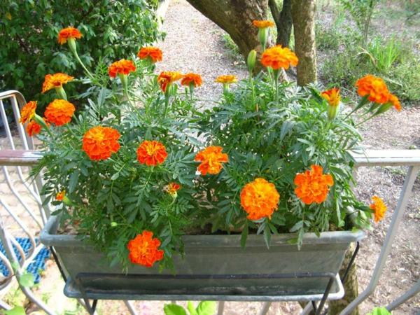 jardiniere-oeillets-dinde-resized