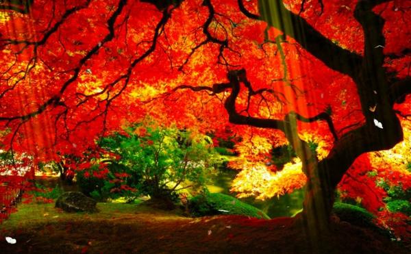 jardin-japonais-cèdre-japonais