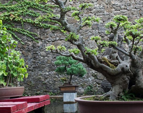 jardin-japonais-bonsai