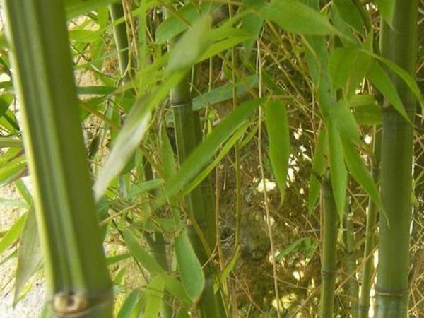 bambou-naturel