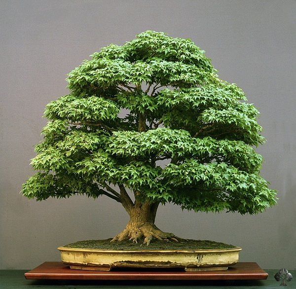 érable-japonais-au-feuillage-vert