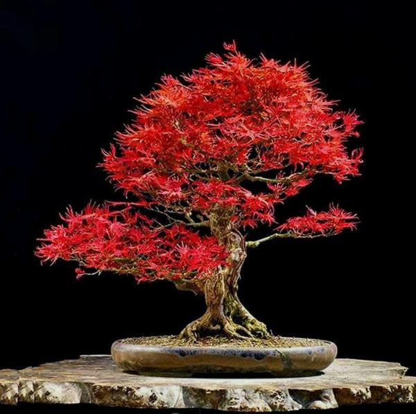 érable-japonais-beauté-philosophe