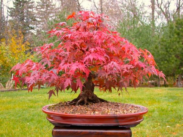 érable-japonais-bonsai-extérieur